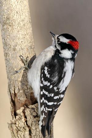 January 13 2018 - Male Downy Woodpecker