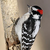 January 13 2018 - Male Downy Woodpecker