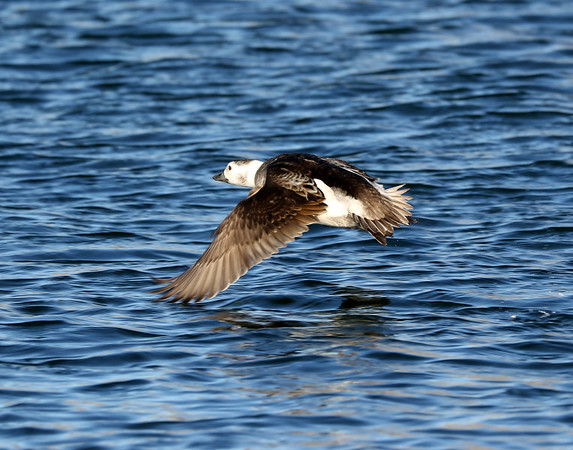 January 24 2018 - Long-Tailed Duck