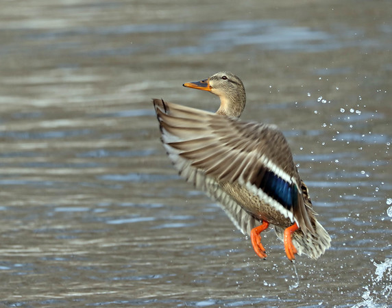 January 2 2018 - Female Mallard Duck