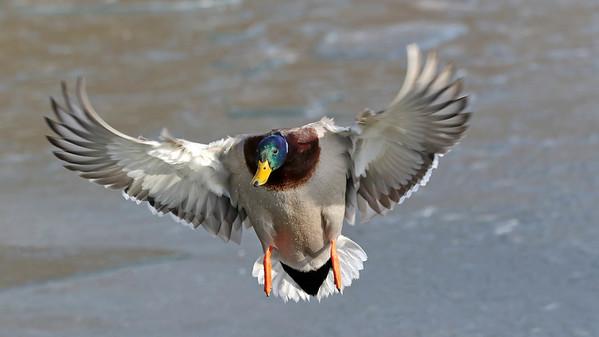 January 28 2018 - Mallard Duck Landing