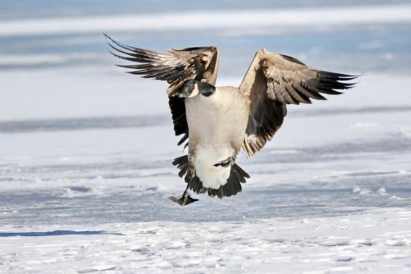 January 17 2018 - Goose Landing