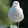 July 10 2018 - Ring Billed Gull