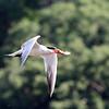 July 26 2018 - Caspian Tern