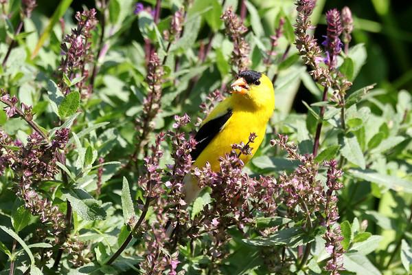 July 12 2018 - Goldfinch