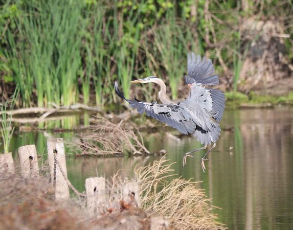 July 1 2018 - Great Blue Heron