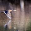 July 25 2018 - Female Wood Duck