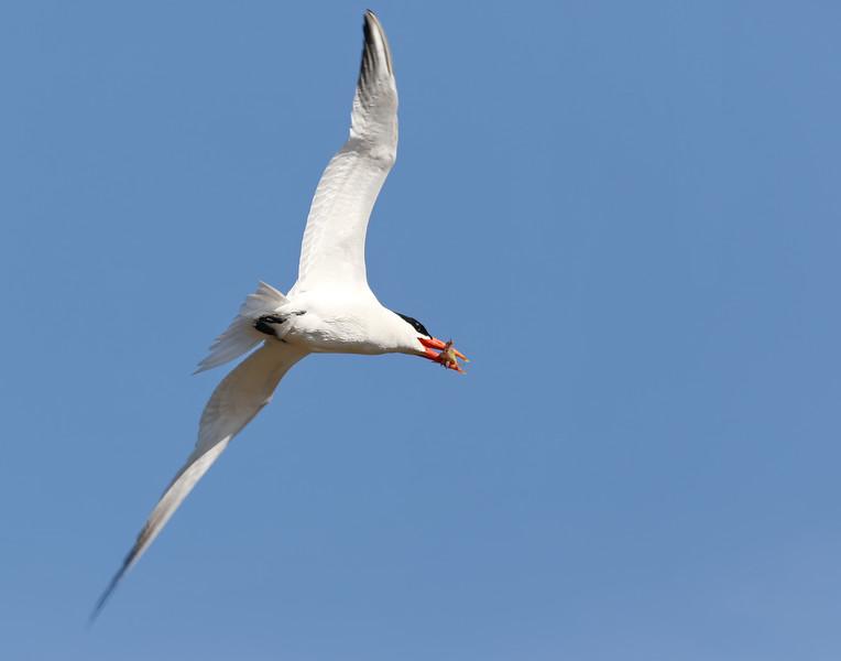 July 4 2018 - Caspian Tern