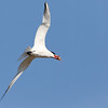 July 4 2018 - Caspian Tern