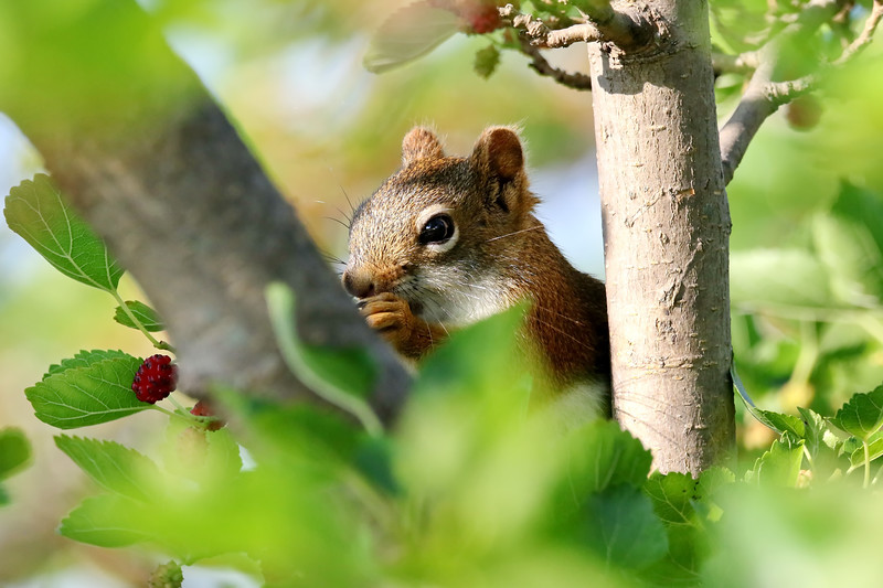 July 8 2018 - Red Squirrel