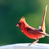 July 23 2018 - Northern Cardinal