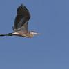 July 28 2018 - Great Blue Heron