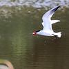 July 20 2018 - Caspian Tern