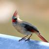 July 27 2018 - Female Northern Cardinal