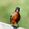 June 19 2018 - Robin