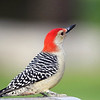 June 15 2018 - Red Bellied Woodpecker