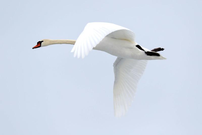 June 13 2018 - Mute Swan