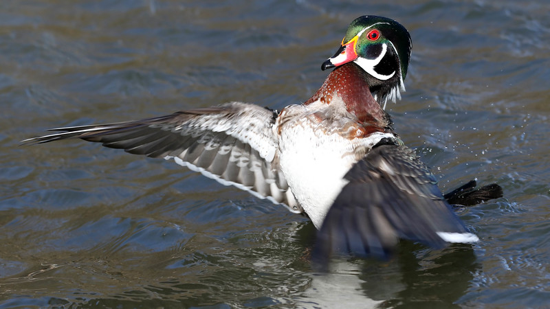 June 12 2018 - Wood Duck