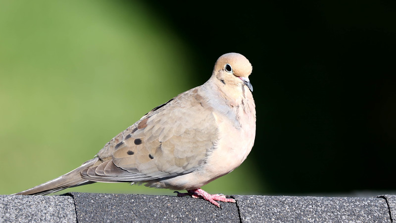 June 23 2018 - Mourning Dove