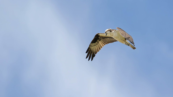 June 26 2018 - Osprey