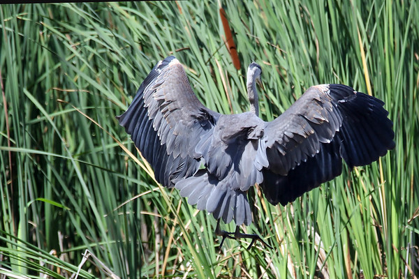 June 8 2018 - Great Blue Heron