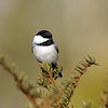 June 6 2018 - Chickadee