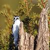 June 11 2018 - Downy Woodpecker