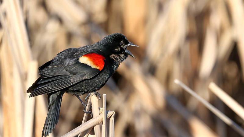 June 2 2018 - Red Winged Blackbird