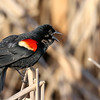 June 2 2018 - Red Winged Blackbird