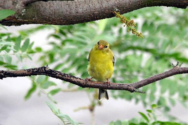 June 7 2018 - American Goldfinch