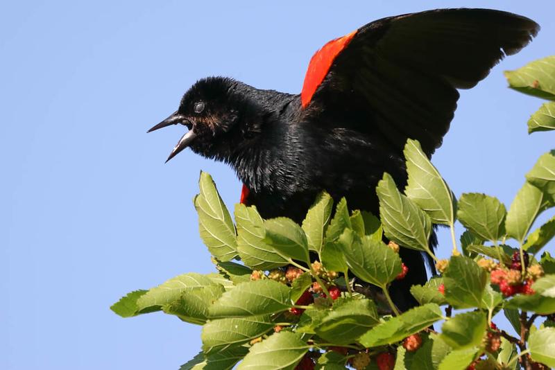June 24 2018 - Red WInged Blackbird