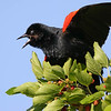 June 24 2018 - Red WInged Blackbird