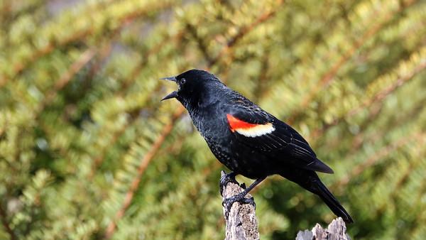 June 20 2018 - Red Winged Blackbird