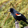 June 20 2018 - Red Winged Blackbird