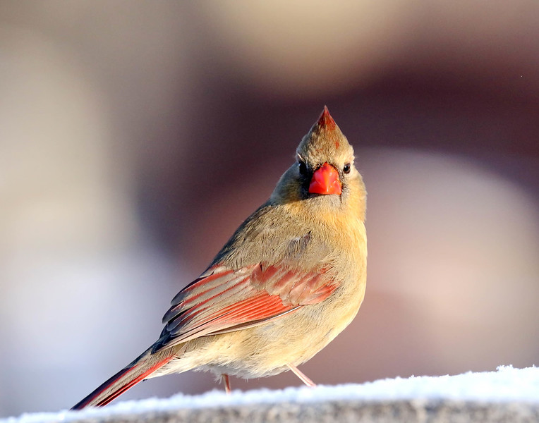 March 15 2018 - Female Northern Cardinal