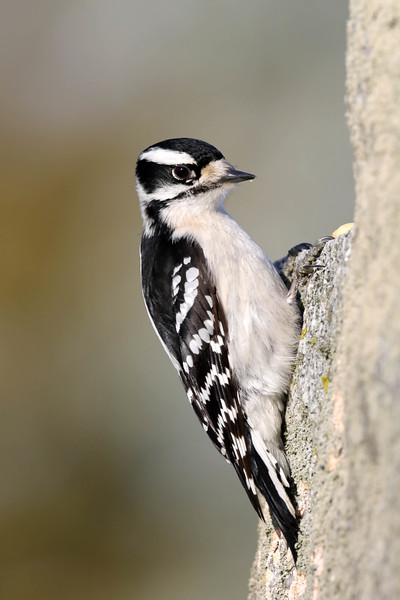March 1 2018 - Downy Woodpecker