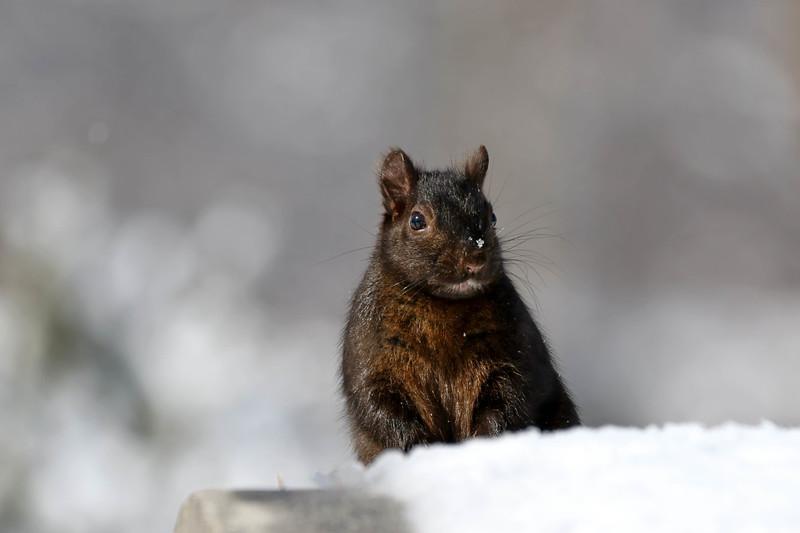 March 12 2018 - Squirrel