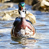 March 8 2018 - Wood Duck
