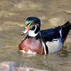 March 14 2018 - Wood Duck