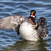 March 2 2018 - Wood Duck