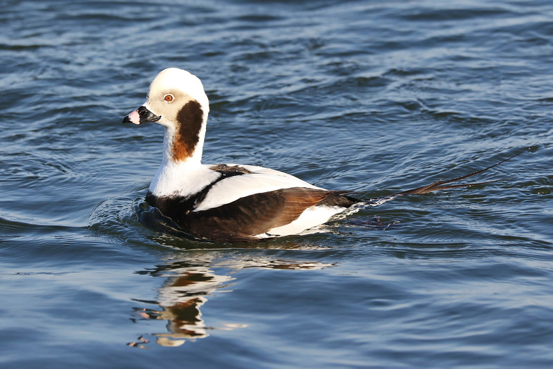 March 11 2018 - Long Tailed Duck