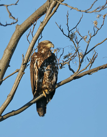 March 27 2018 - Juvenile Bald Eagle