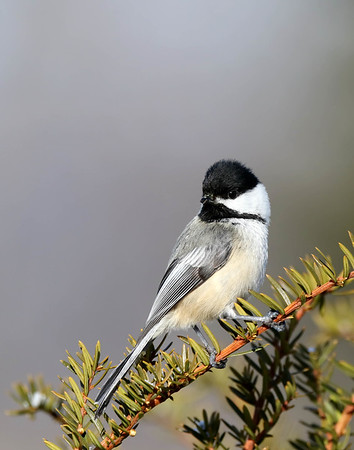 March 28 2018 - Chickadee