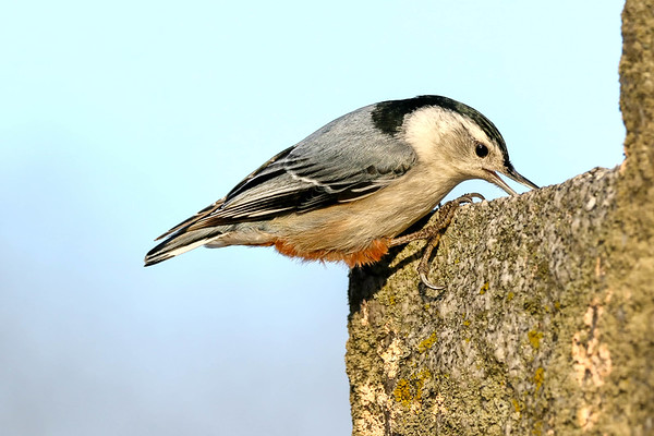 March 4 2018 - Nuthatch