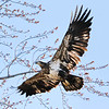 March 19 2018 - Immature Bald Eagle