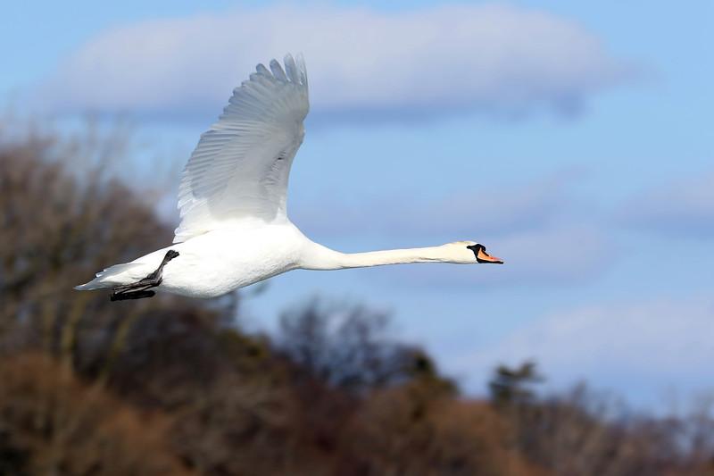 March 10 2018 - Mute Swan