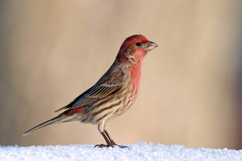 March 24 2018 - House Finch
