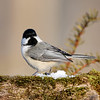March 17 2018 - Chickadee