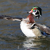 March 25 2018 - Wood Duck