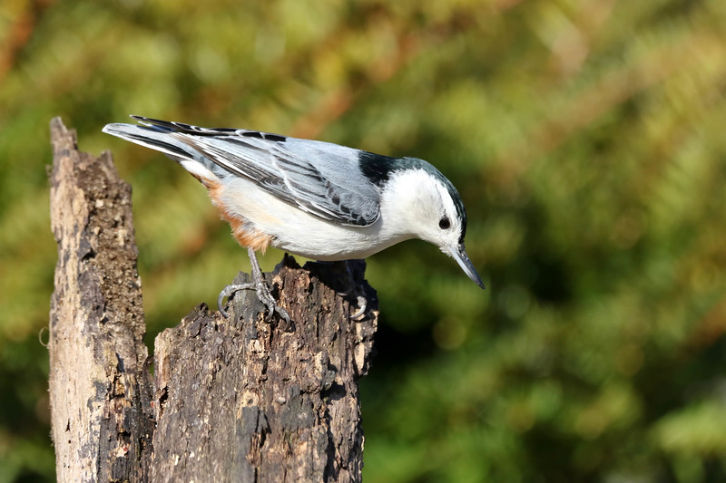 May 18 2018 - Nuthatch